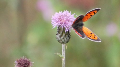 Fjärilsinventering med Natursnokarna