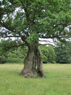 Naturbetesmark i Östra Strö fälad. Här finns höga botaniska värden och denna gamla döende ek. Trädet är mycket värdefullt för naturvården.