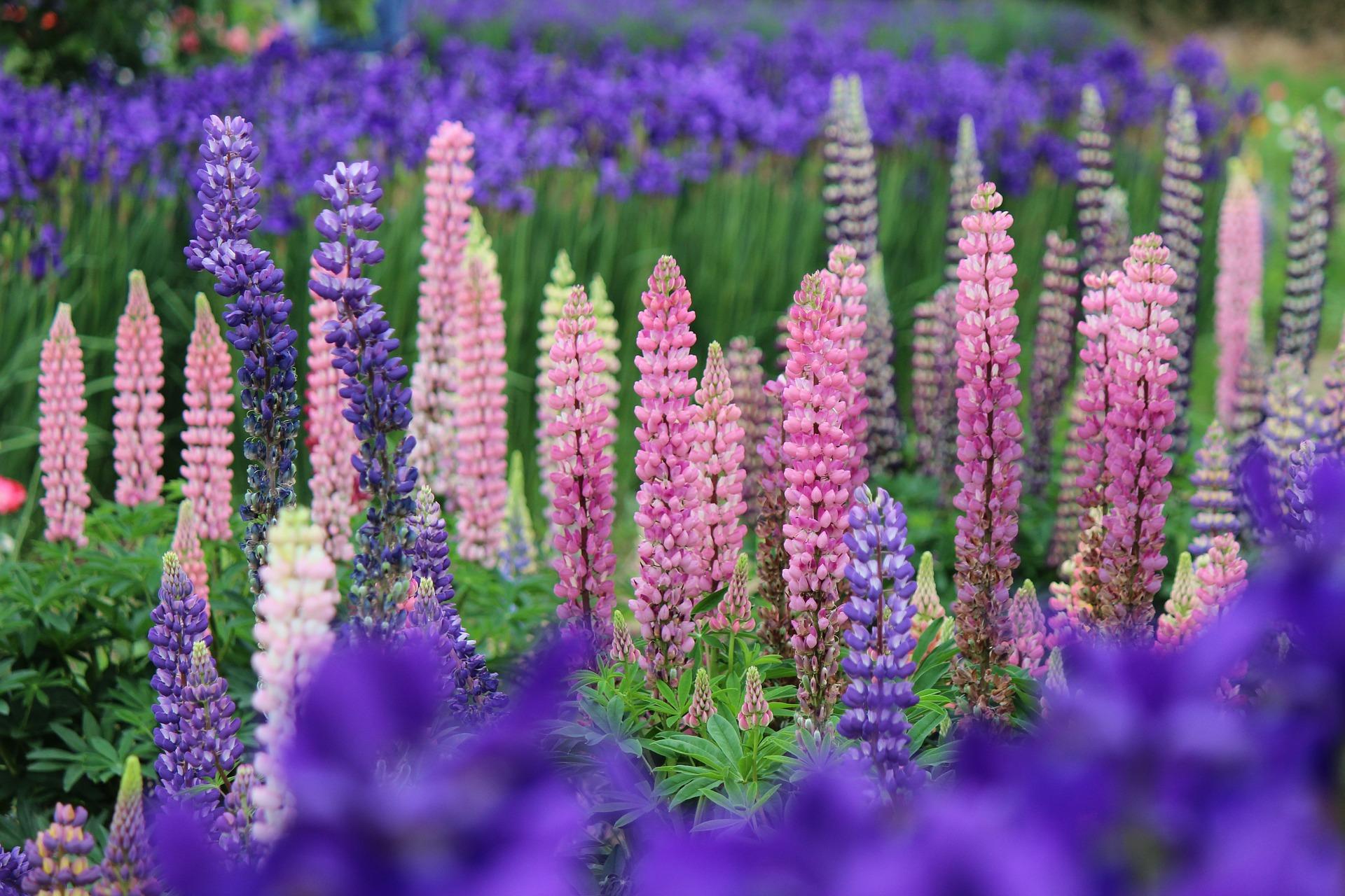 Lupin klassas som invasiv art och utgör ett hot mot vår inhemska flora.