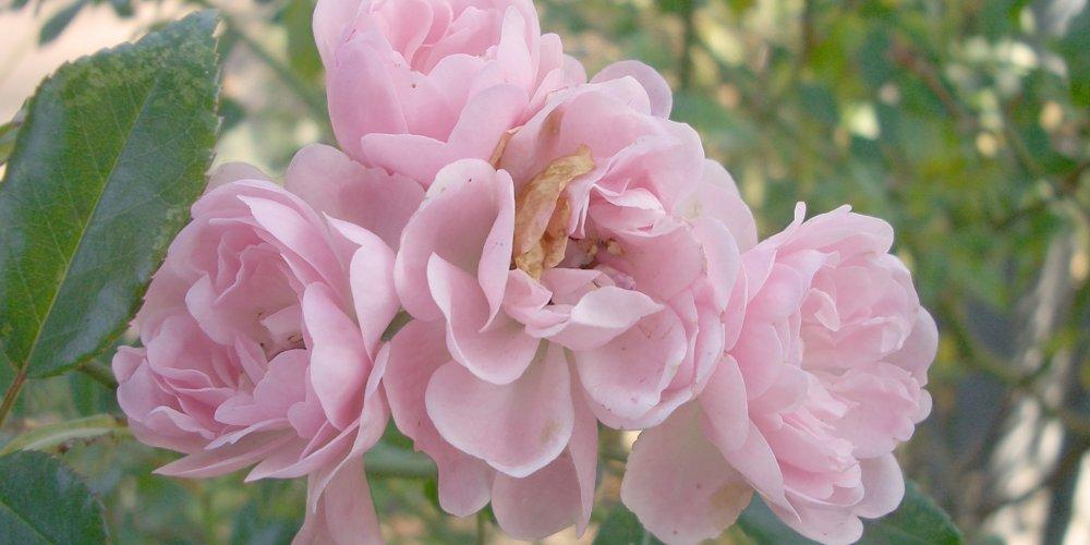 Rosengången är en av parkerna i Eslöv